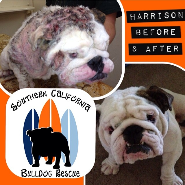Welcome to Southern California Bulldog Rescue - Southern
