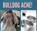 Dealing with Bulldog Acne!