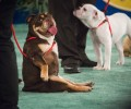 See SCBR on the 2018 American Rescue Dog Show!
